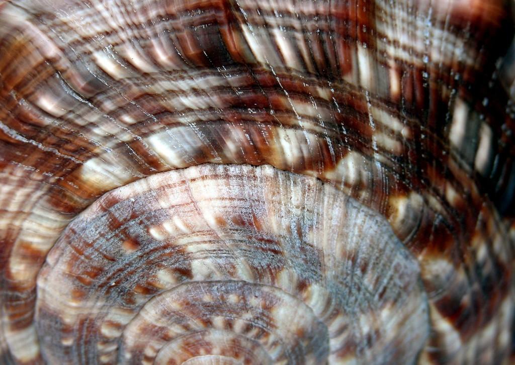 A spiral seashell.