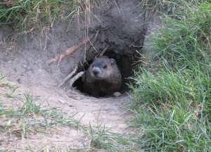 groundhog peeking out of grassy cave