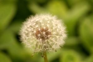 summer dandelion puff