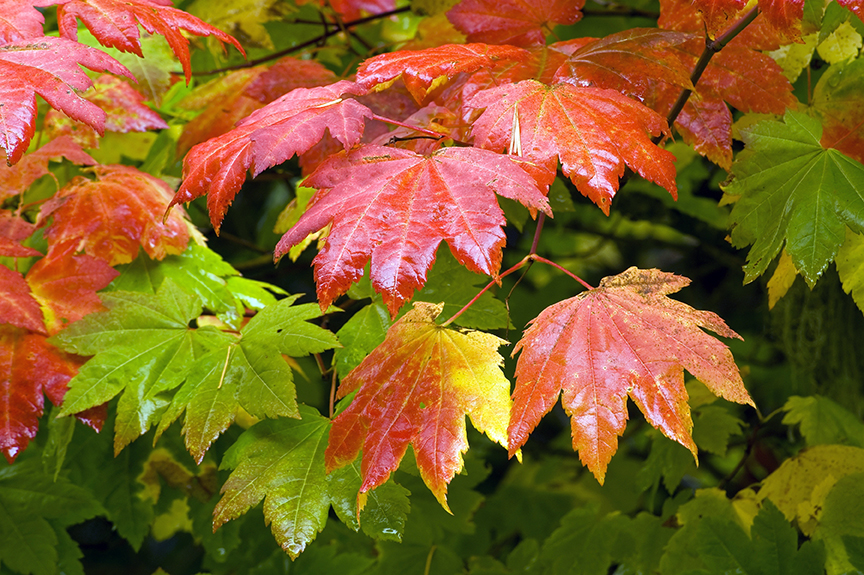 vine maple turning in early autumn